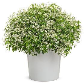 Euphorbia Diamond Snow