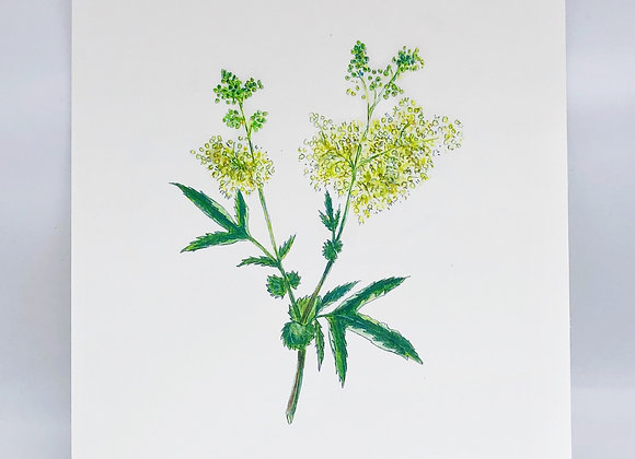Meadowsweet Herbal Print