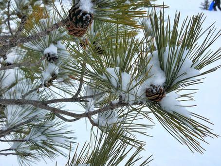 Pine, the Tree of Longevity, Wisdom and Health