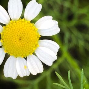 Growing Sunshine in your Garden