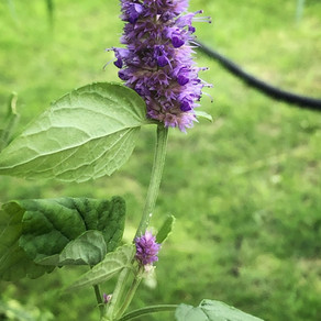 Bring in the Bees with Agastache