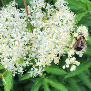 Honey Sweet Meadowsweet:  an amazing pollinator