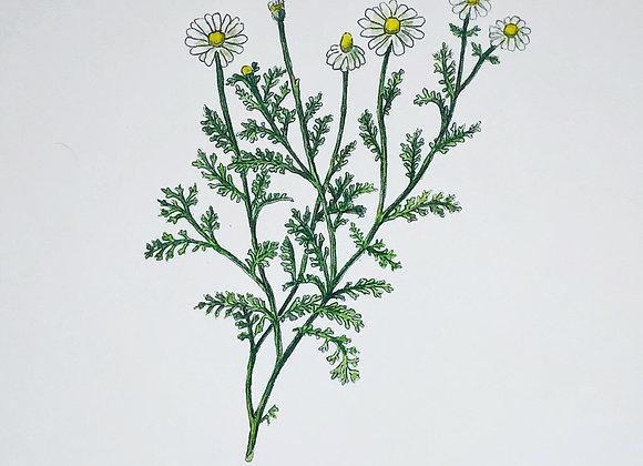 Chamomile Herbal Print