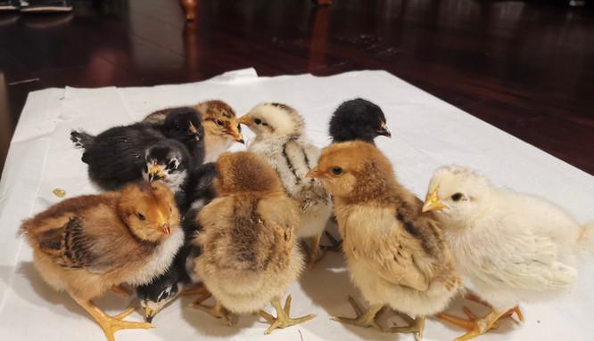 Newborn Baby Chicks - April 2021