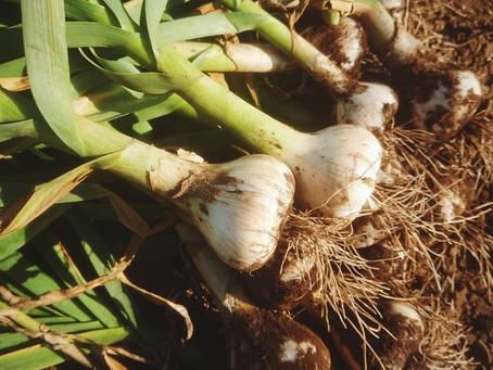 ニンニク収穫です