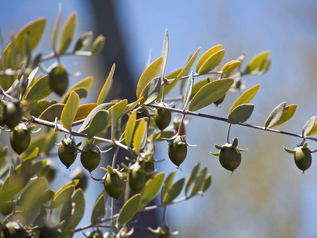 7 Reasons Why Jojoba Oil is a Winning Oil.