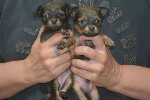 TOY ANGELS RUSSKIY TOY FAB LITTER