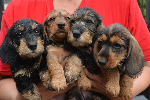 TOY ANGELS DACHSHUND GOLD LITTER