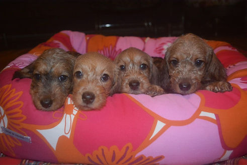 TOY ANGELS DACHSHUND DIAMOND LITTER