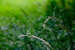 """""""Summer's Grass"""", Missouri"""