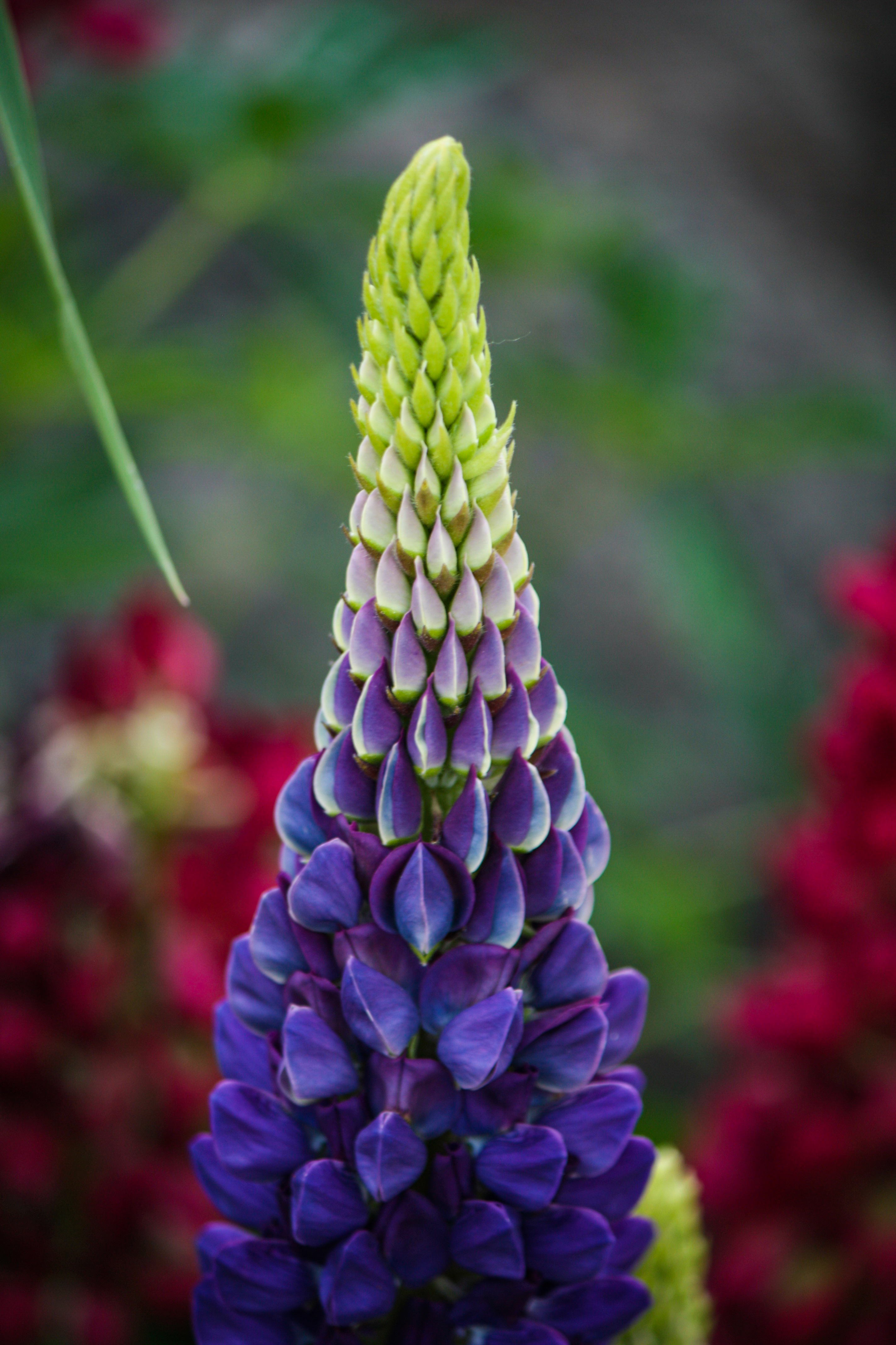 Lupine Flower, Colorado