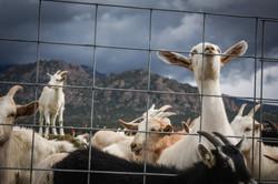Jumpin' Good Goat Dairy, Buena Vista, Colorado
