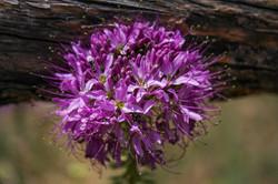 Rocky Mountain Bee Plant, Colorado