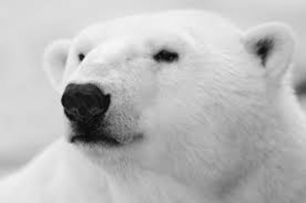 Closeup of Polar bear head