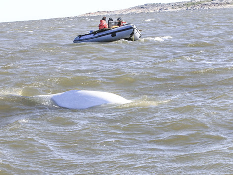 Canada: Churchill's White Whales