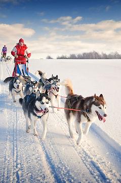 Dog sled team pulling sled