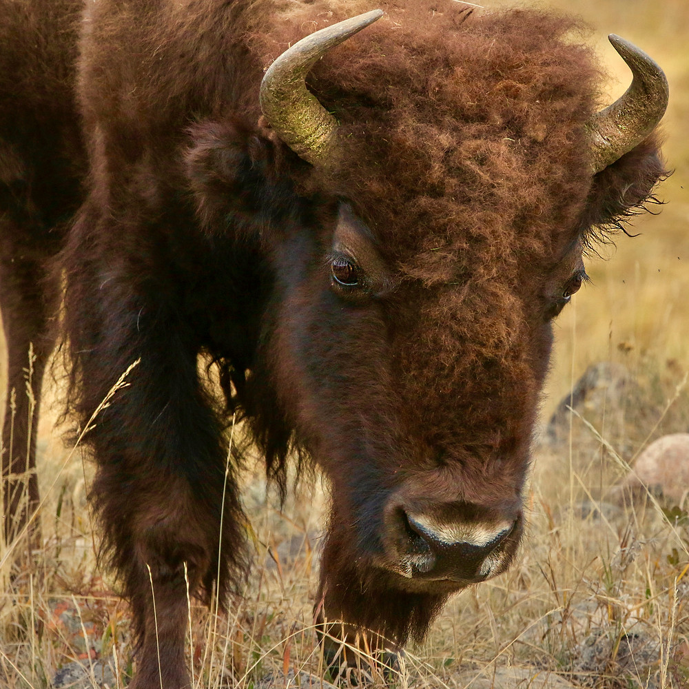 Horned bison head closeup