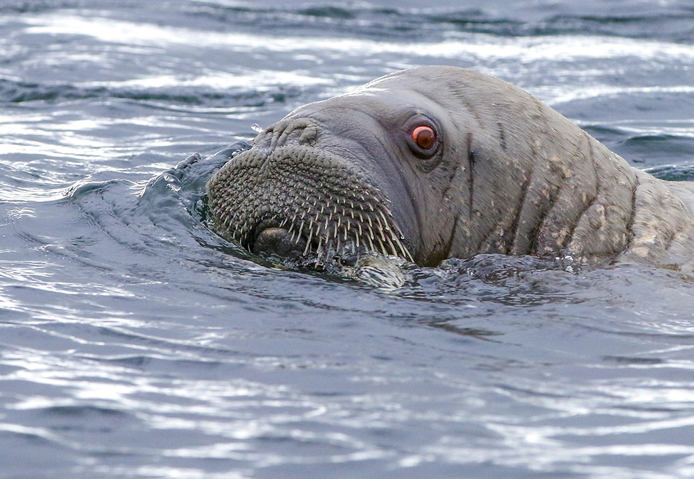Closeup of male walrus swimming and looking at camera