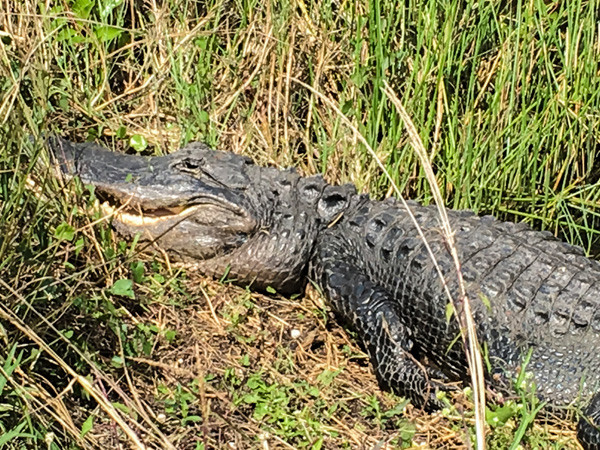 Suning alligator in tall grass