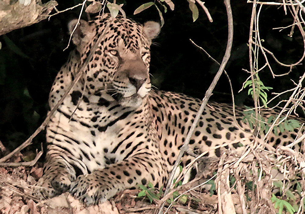 closeup of jaguar resting and sunning along riverside