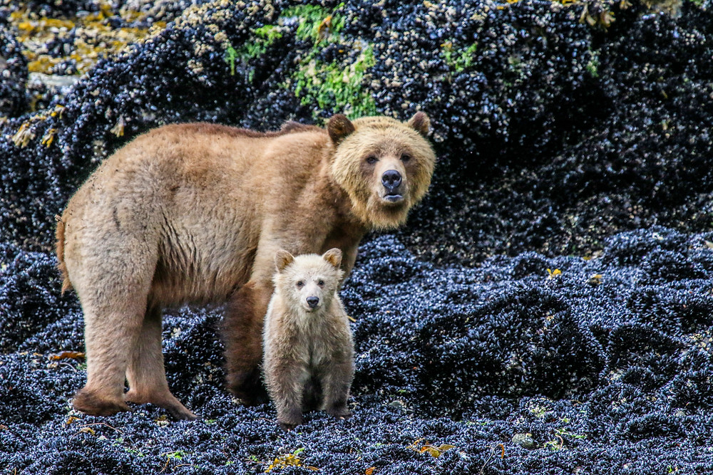 mother brown bear with cub looking at camera