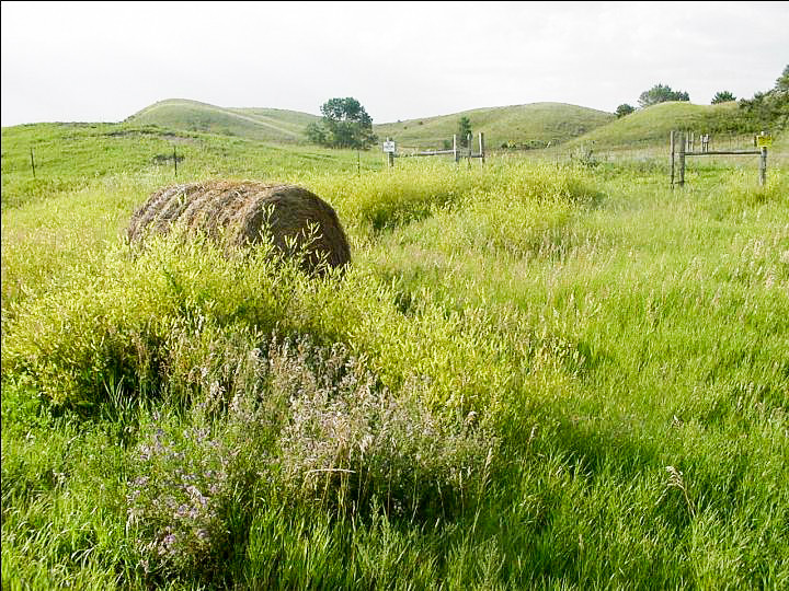 Rolled hay bale in tall green grass