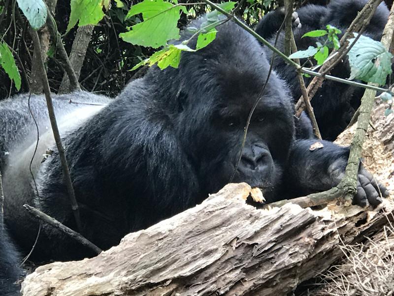 Closeup silverback mountain gorilla eating bark