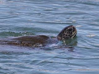 Southern California Sea Turtles