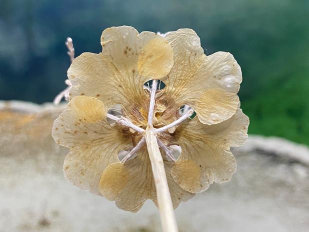 F. mugungdea