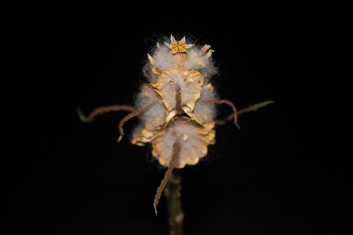 F. pruina
