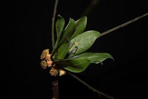 F. harena