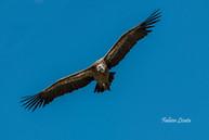 vautours_2019_FLP8817.jpg