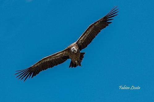 vautours_2019_FLP8817