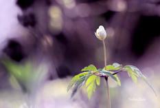 fleur-blanche_FLP2498.jpg