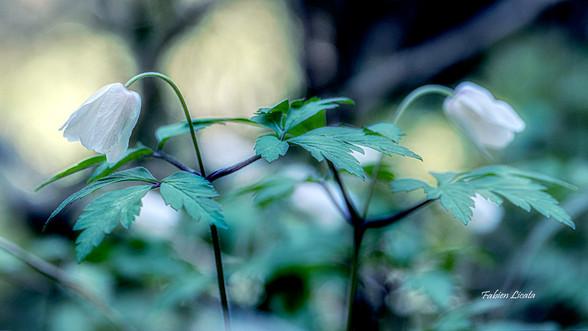 fleur-blanche_FLP2505.jpg