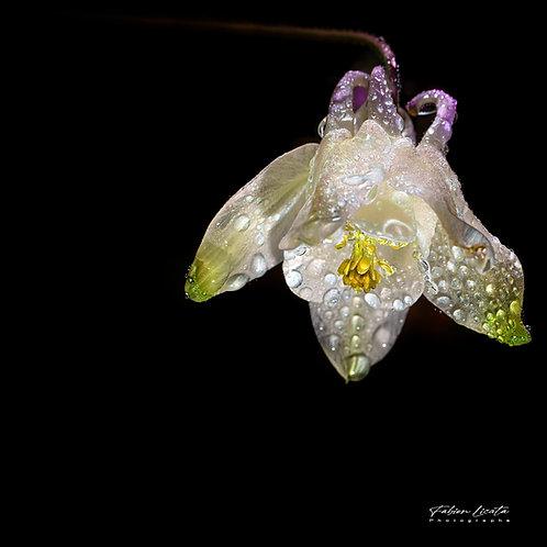 fabien-licata_fleur-blanche_FLP3252