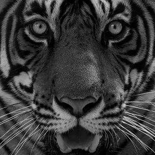 TIGERS FOR TIGERS
