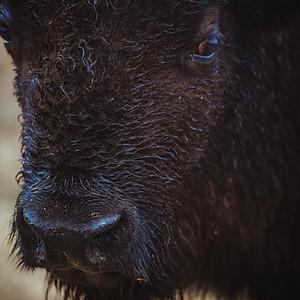EZ Bluffed Bison Ranch
