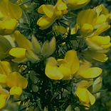 Gorse.png