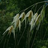 Wild oat.png
