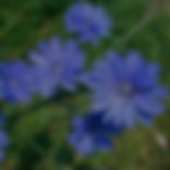 Chicory.png