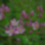 Centaury, Floral de Bach
