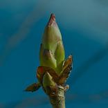 Chestnut bud.png