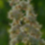 White chestnut.png
