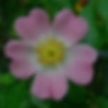 wild rose (1).png