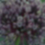 Allium SG.png