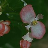 Begonia SG.png