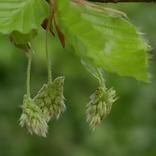 Beech, Floral de Bach