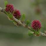 Larch.png