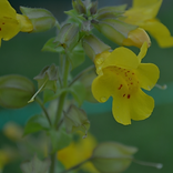 Mimulus.png